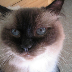 Caico cat himalayan blue eyes