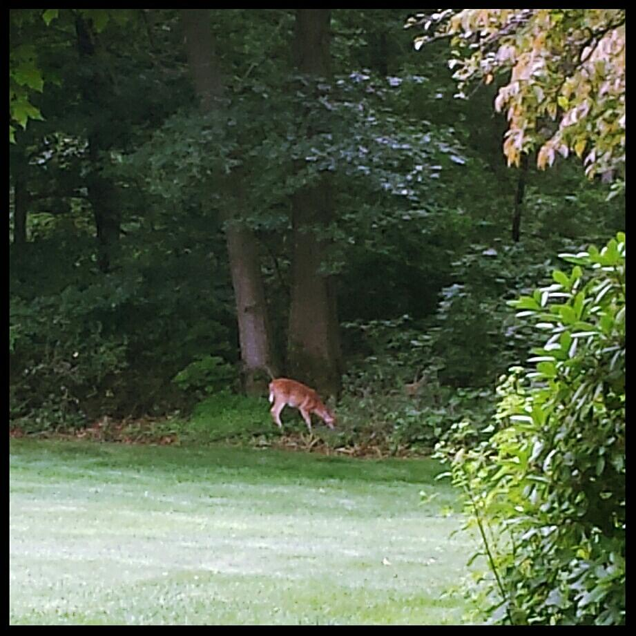 whitetail deer 20170815