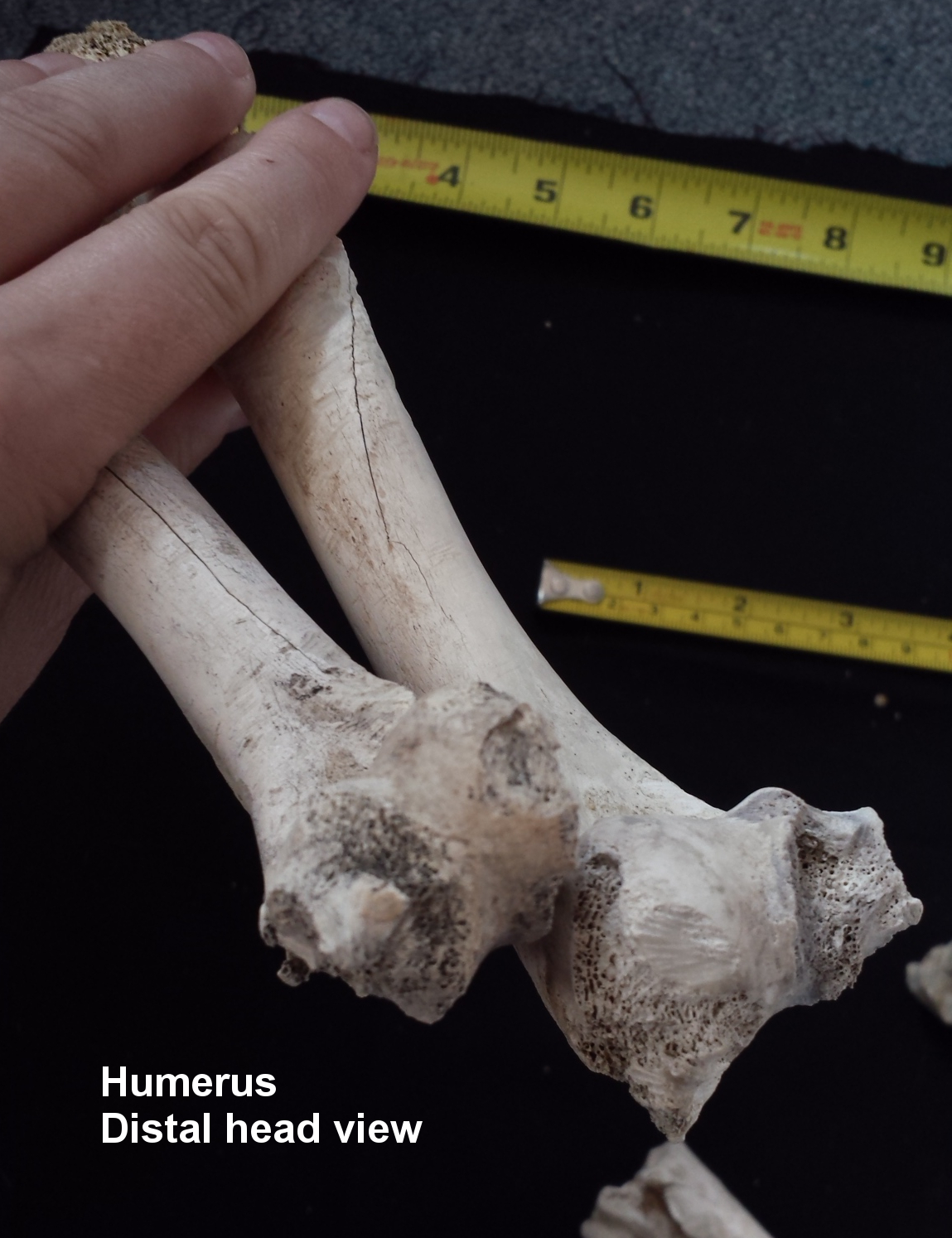 Humerus Comparison Distal End View