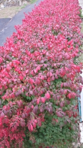 looking down at the top of the burning bush hedge from a higher balcony