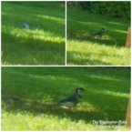 collage of blue jays