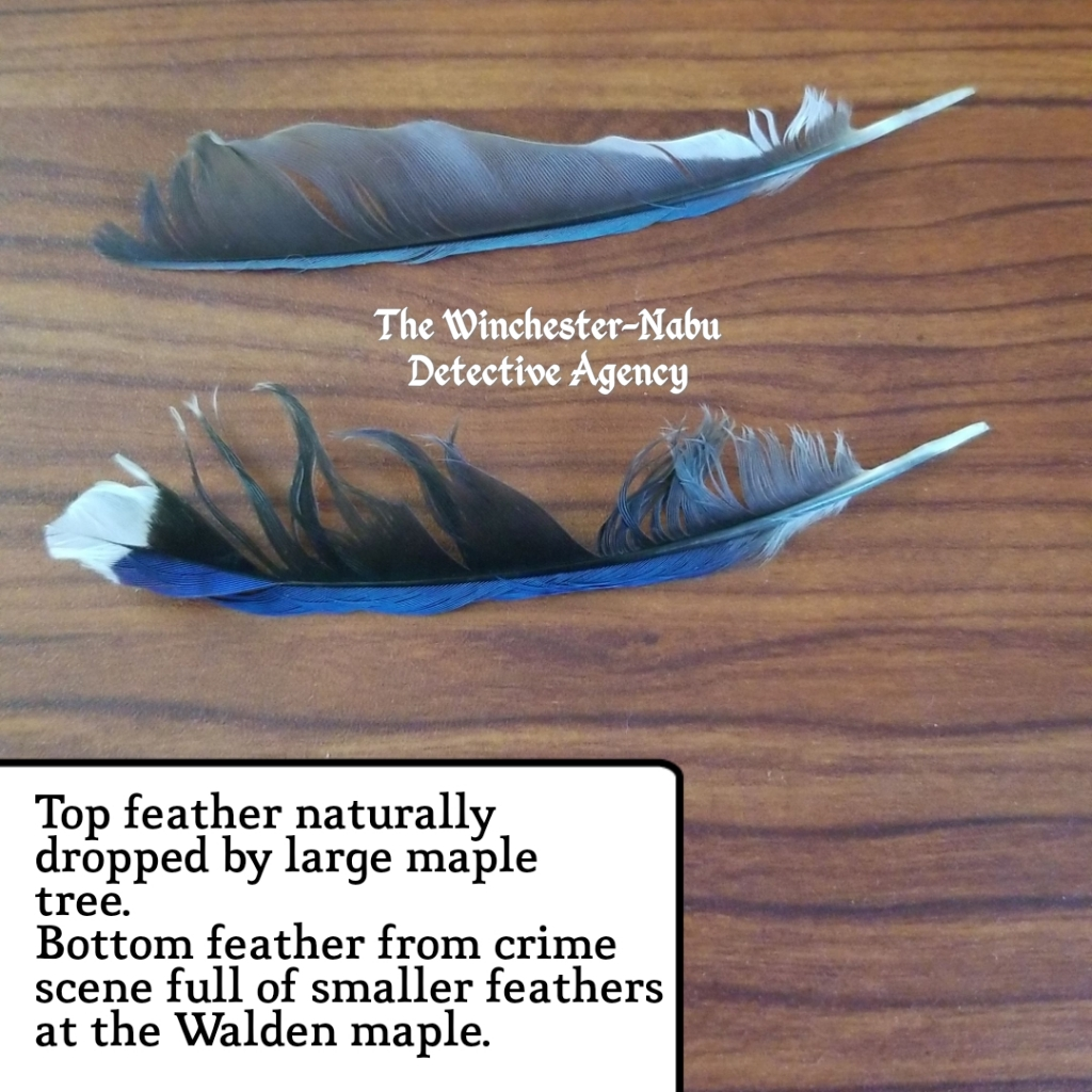 071719 bluejay feathers