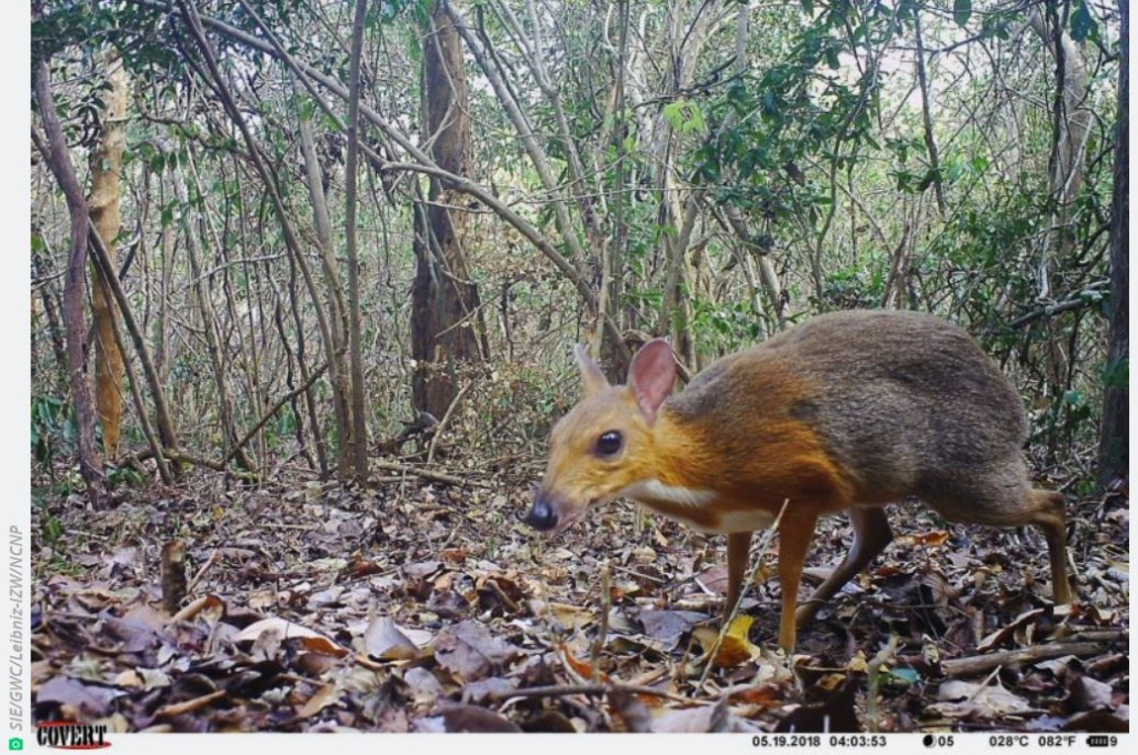 "silver-backed chevrotain, a tiny ""mouse-deer"" native to Vietnam"