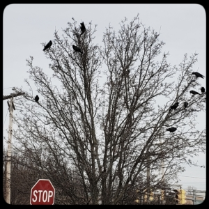 murder of crows in a tree