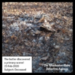 dead carcass of whitetailed deer or jersey devil