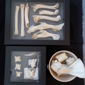 bones in shadow boxes