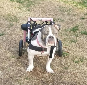 bulldog in wheelie cart