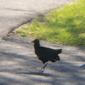 black vulture Hector walking in the driveway