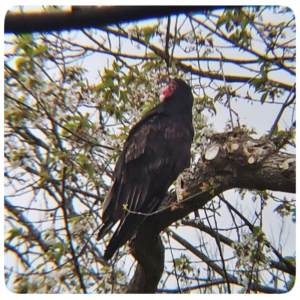 turkey vulture with red head