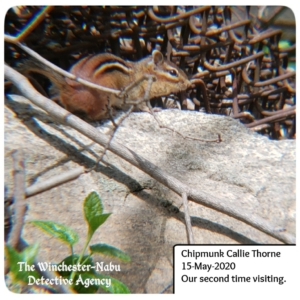 chipmunk Callie Thorne sitting on a rock