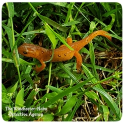 red-eft stage eastern spotted newt