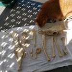 Oliver and bones of the jersey devil-deer skeleton