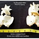 comparison of bones from different skeletons