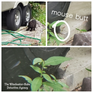 collage of Gus mousing