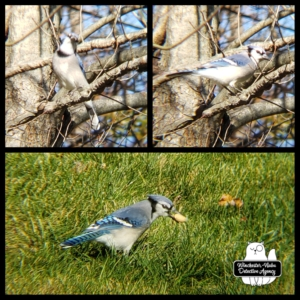 bluejay collage