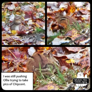 collage of chipmunk in fall leaves