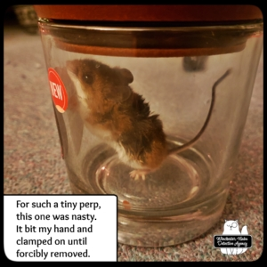 mouse in jar