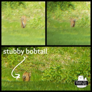 collage of bobcat in yard