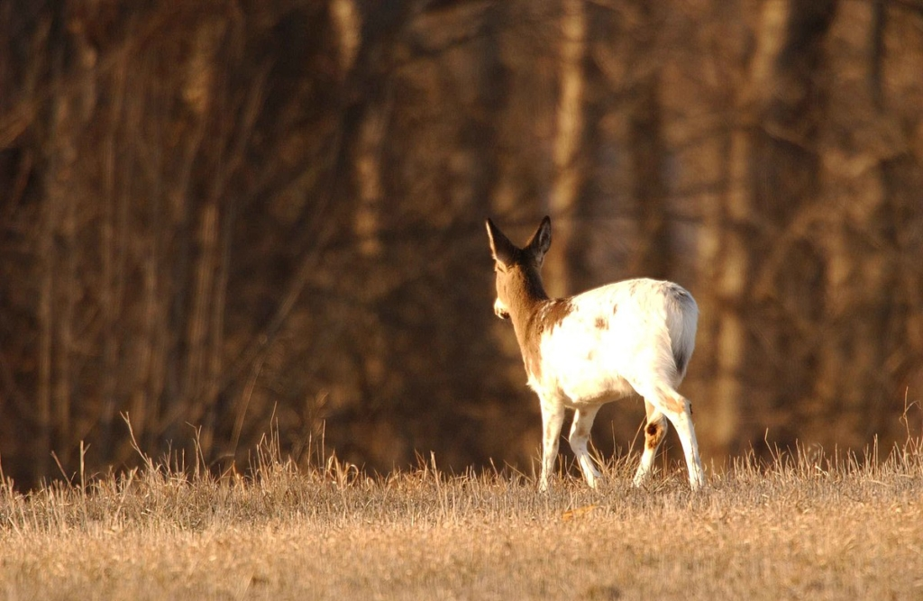 mostly white deer
