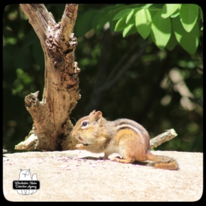 Chipcent Donofrio chipmunk on rocks with peanuts.