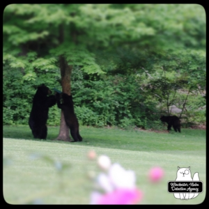 black bear mother and cub