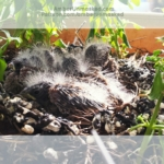 baby finches birds
