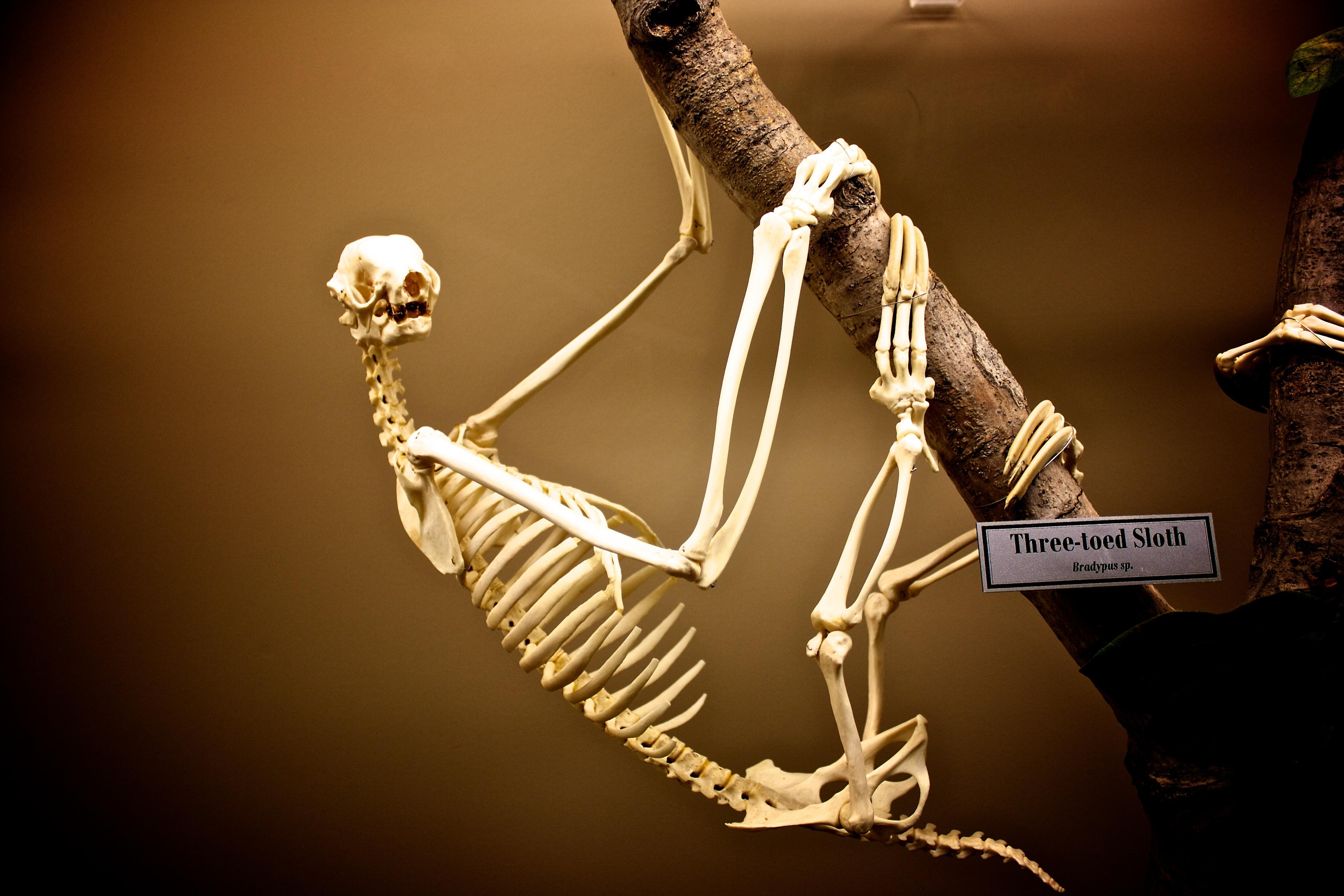 Skeleton_of_a_Three-toed_Sloth