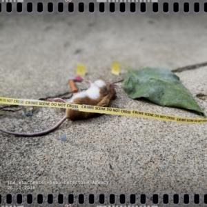 mouse victim