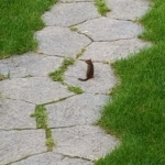 chipmunk on pathway through yard
