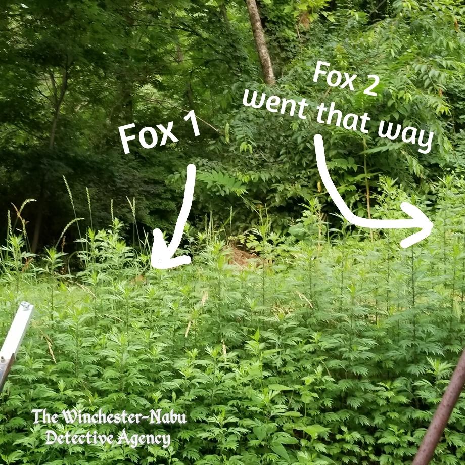 20190706_foxes_wm