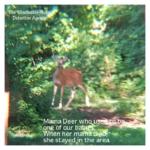 white-tailed mama deer