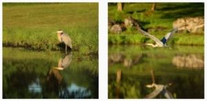 blue heron by bruce hockenbury