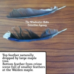 blue jay feather evidence