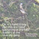 blue jay gang