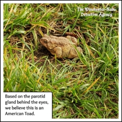 american toad creature