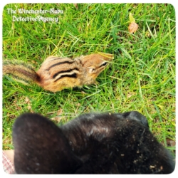 chipmunk pipi lansbury capture