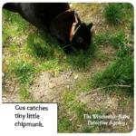 Gus catching chipmunk