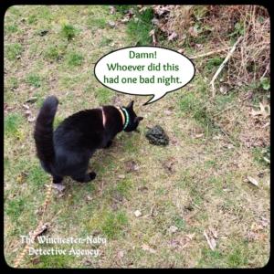 Gus investigating wildlife bear volkolak poo
