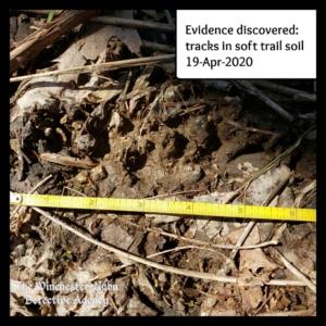 wildlife bear volkolak tracks