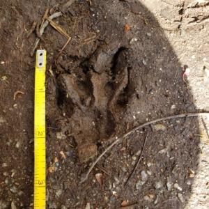 unknown wildlife track possibly fox