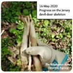 holding long bones from the jersey devil-deer skeleton