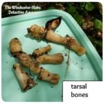 smaller long bones from the jersey devil-deer skeleton