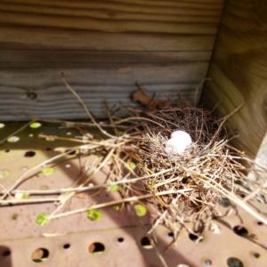 mourning dove bird eggs in nest