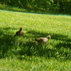 mourning doves birds under tree