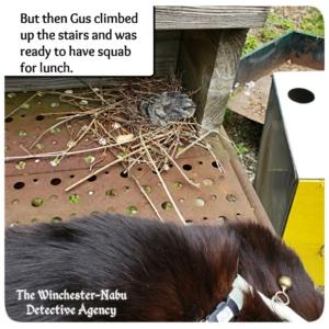 mourning dove bird baby nest