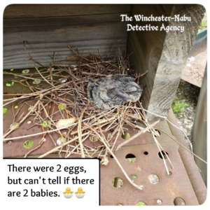 mourning dove bird baby in nest
