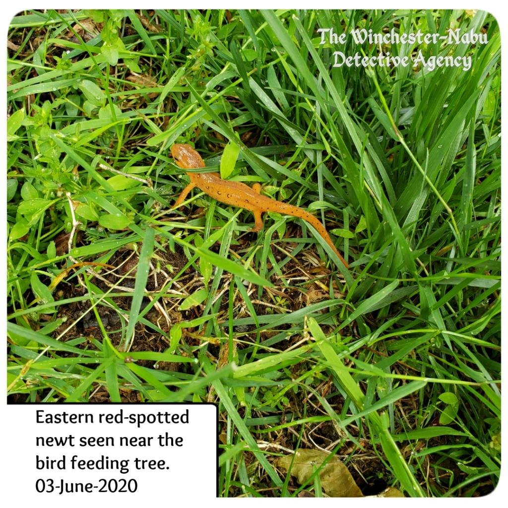 20200603 redspotted newt2