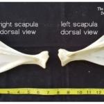 scapula bones skeleton jersey devil-deer