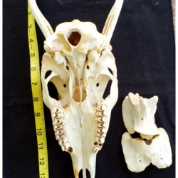 skull and vertebrae bones of the jersey devil-deer skeleton