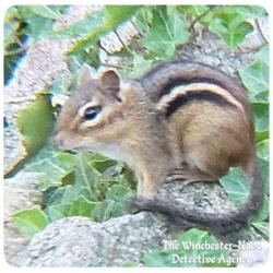 sgt burrows chipmunk